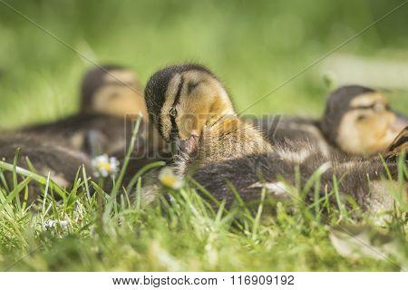 Mallard Duckling Sitting On The Grass