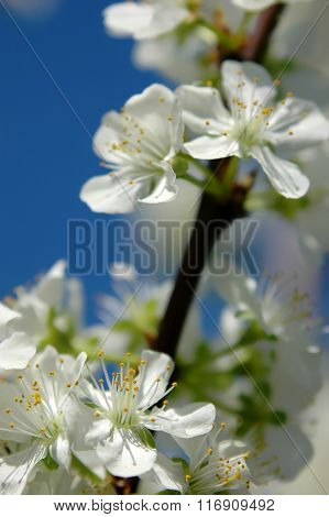 Plum tree blossoming in the orchard in spring