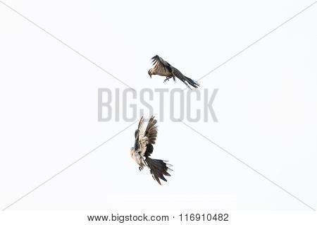 The flying birds isolated on white background.