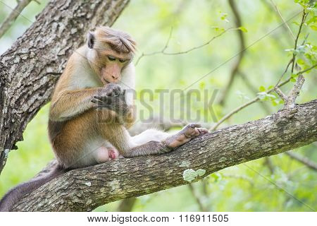 Toque Macaque Monkey Picking Lice While Sitting On A Tree  In Natural Habitat In Sri Lanka