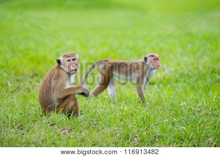 Toque Macaque Monkeys In A Park In Sri Lanka