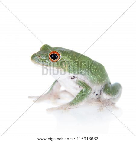 Green back flying tree frog isolated on white