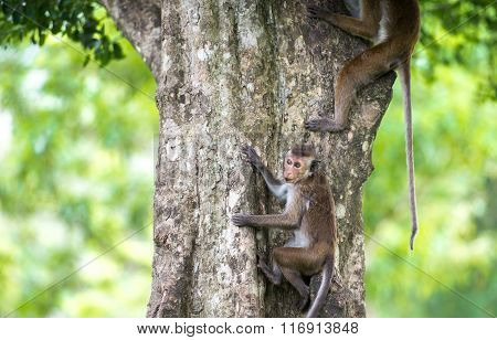 Toque Macaque Monkey Climbing A Tree  In Natural Habitat In Sri Lanka