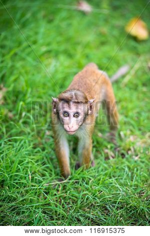 Toque Macaque Monkey Baby In Natural Habitat In Sri Lanka