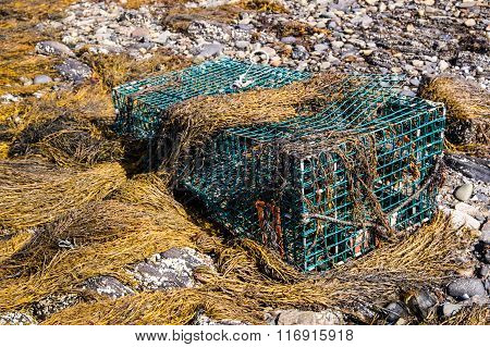 Lobster Trap In Seaweed