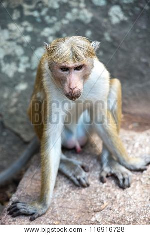 Toque Macaque Monkey Sitting On A Rock Monument In Temple In Sri Lanka