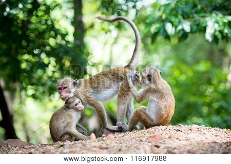Female Toque Macaque Monkey With Baby In Natural Habitat In Sri Lanka