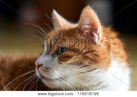 Portrait of a sad European cat