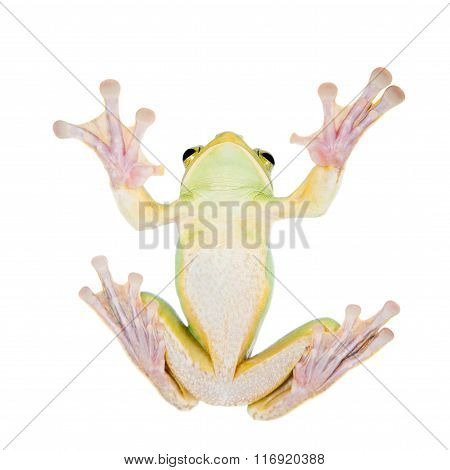 Giant Feae flying tree frog eating a locusts on white