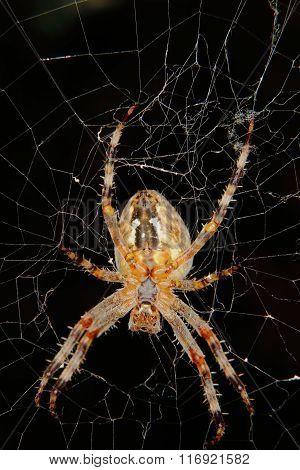 European Garden Spider (araneus Diadematus)