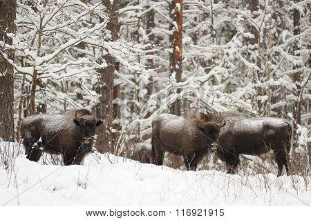 European Bison Family Hiding In Woods In Winter In Orlovskoye Polesie National Park In Russia