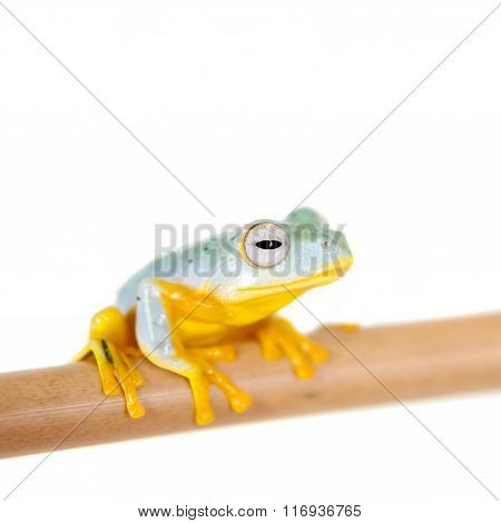 Black-webbed flying tree frogling isolated on white