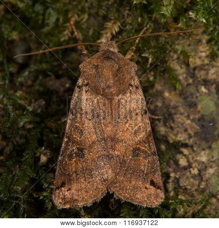Brown-spot pinion (Agrochola litura) moth