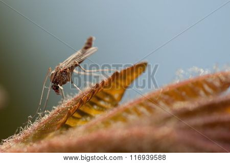 Mosquito warming-up on plant with soft background