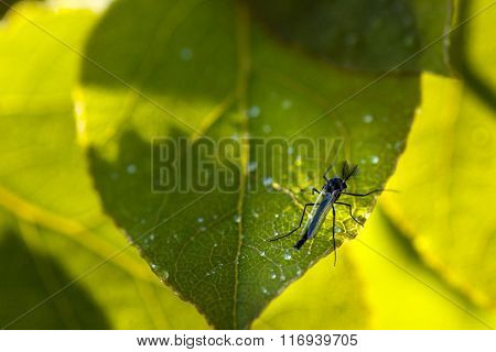 Mosquito resting on green leaf in bushes