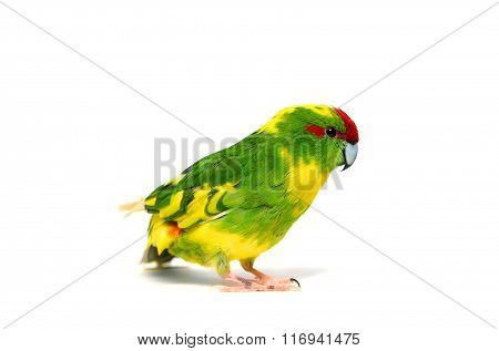 Red-fronted Kakariki parakeet on white