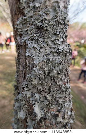 Dry Moss And Lichen On A Tree.