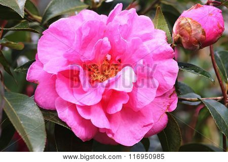 Pink with purple Camellia flower closeup