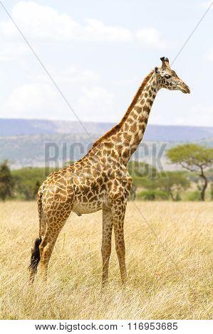 Long giraffe standing at the savannah in Serengeti