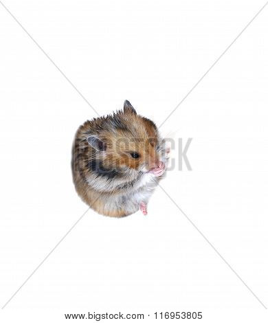 Brown Syrian Hamster Sits And Washes Muzzle