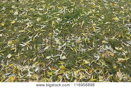 Grass covered with fallen willow and poplar leaves
