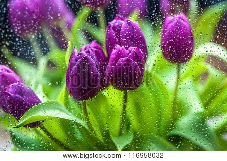 Purple Tulips Through The Rainy Glass