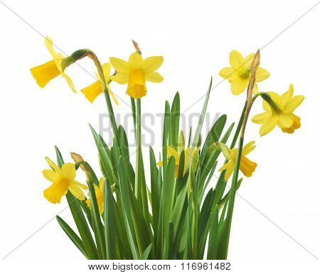 Beautiful fresh narcissus flowers, isolated on white background