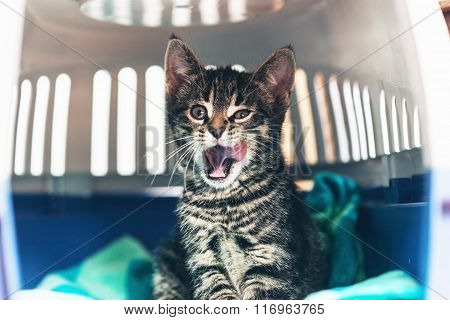 Angry Kitten With Open Mouth Inside Carriage Box