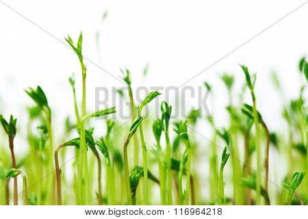 Green spouts of lentis