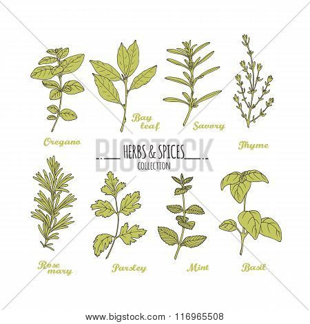 Hand drawn herbs and spices collection. Green fresh seasonings isolated on white