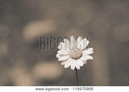 Daisy flower in the field