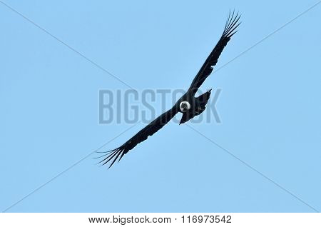 Andean Condor (Vultur gryphus) flying