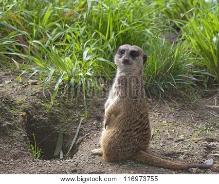 Single Meerkat Standing Up In The Grass Looking For Predators