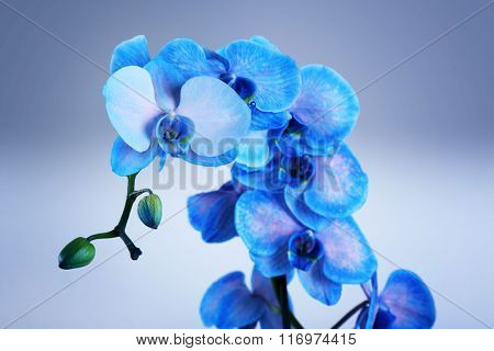 Beautiful blue orchid on the table in the room, close up