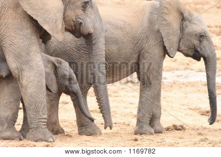 African Elephant Cows And Calf