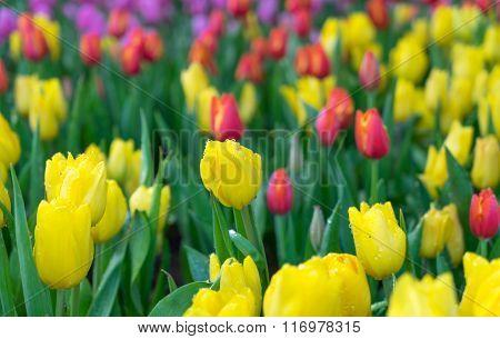 Yellow Tulip Flowers In The Garden