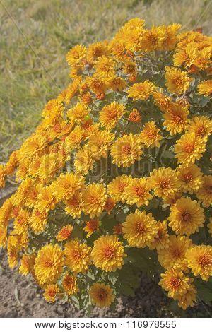 Orange Flowers In The Garden