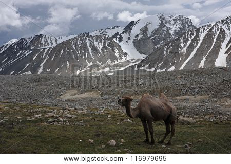 Up in the snowy mountains comes a camel