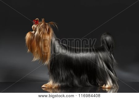 Yorkshire Terrier Dog Groomed Hair Standing On Black