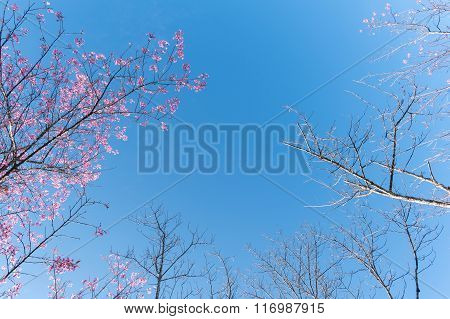 Wild Himalayan Cherry (prunus Cerasoides) Tree Branches Canopy -autumn Fallen Leaves Background