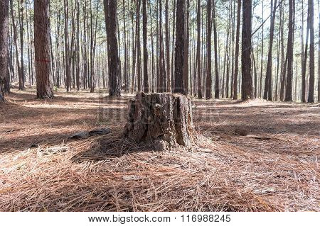Stump Of Pine Tree In Coniferous Forest