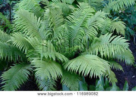 Beautiful Fresh Green Fern Leaves