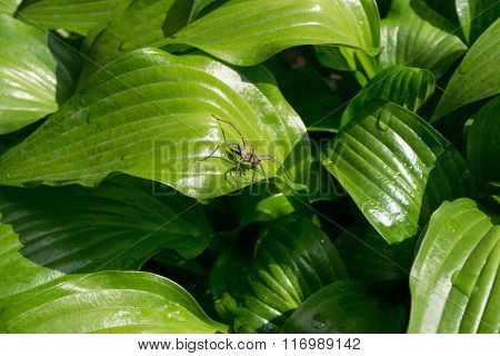 Green Hosta Leaves And Spider