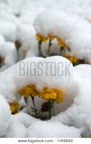 Marigold Under Snow