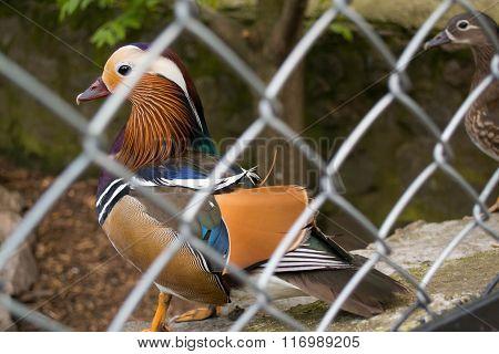 Beautiful Drake Mandarin Duck In An Aviary