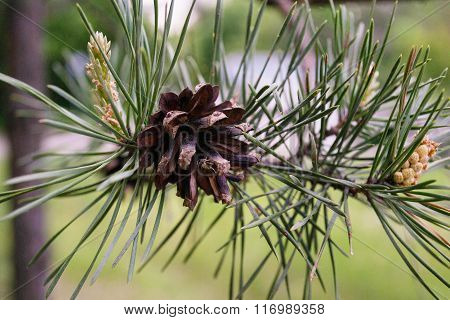 Grean Pine Branch With Cones