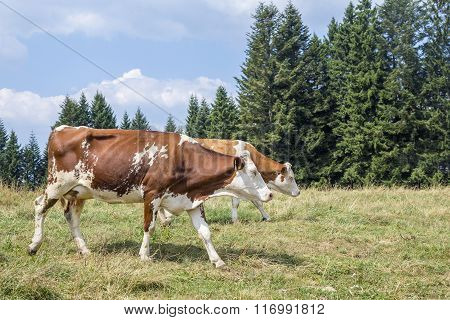 Two Cows Walking On An Alpine Pasture Surrounded By Pines