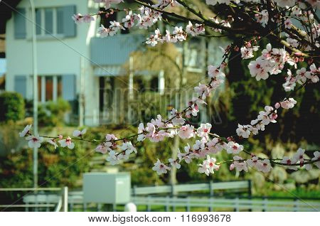 Almond tree twigs blooming in spring