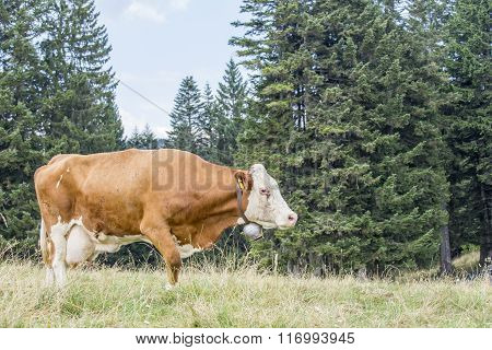 Cow Walking On A Pasture With Trees On The Background