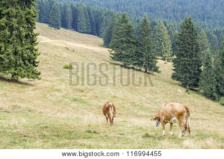 Herd Of Cows Grazing Between Coniferous Trees